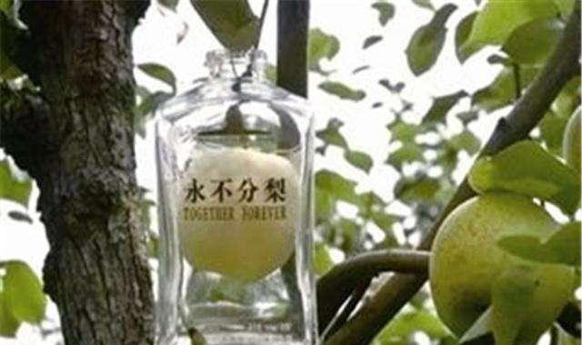 """""""五粮液永不分梨酒""""的梨怎么放进瓶子的,可以吃嘛?"""